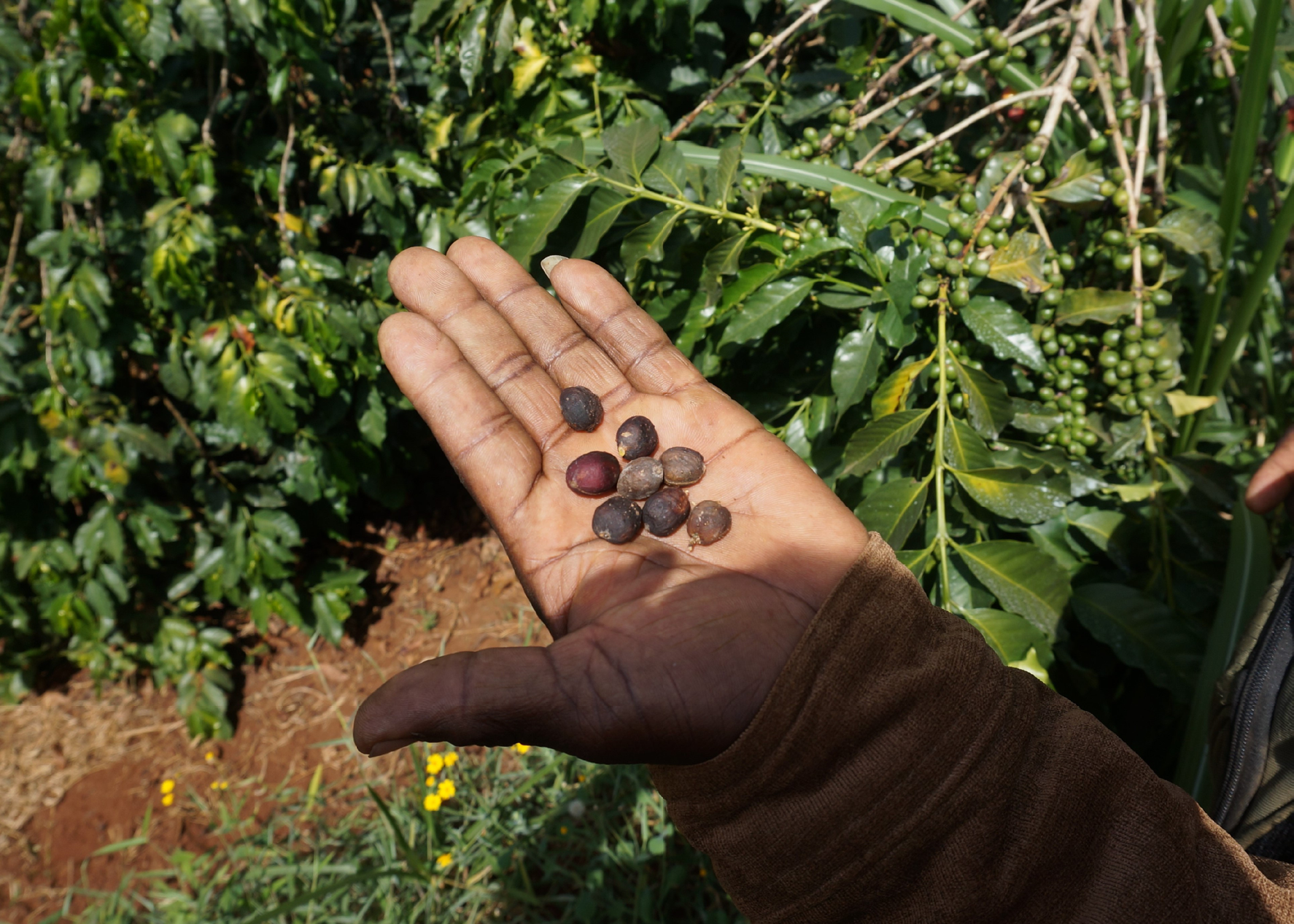 Kaffeefarmer Hand in Äthiopien